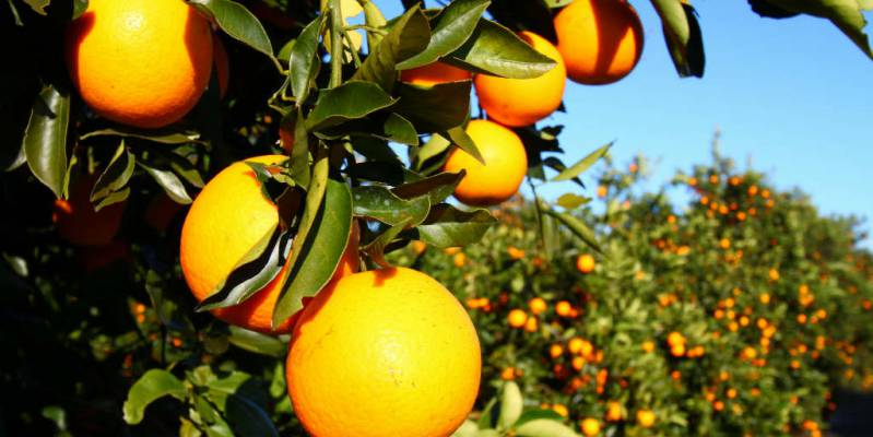 News: More than half of the oranges in the EU come from Spain